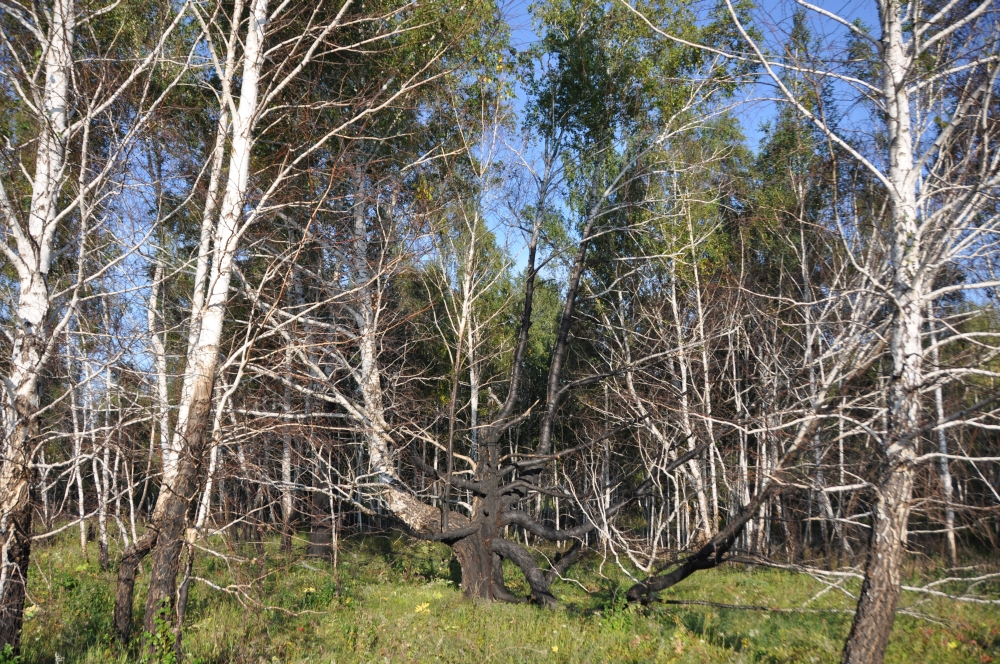Birkenwald Sibirien