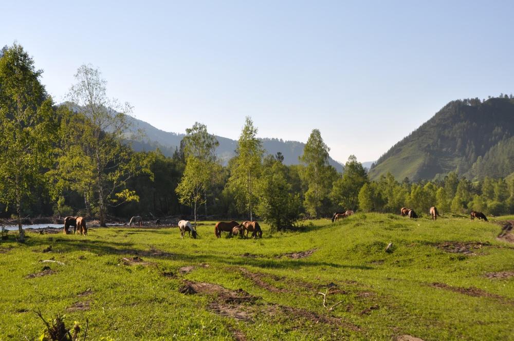 Pferdeherde auf Wiese