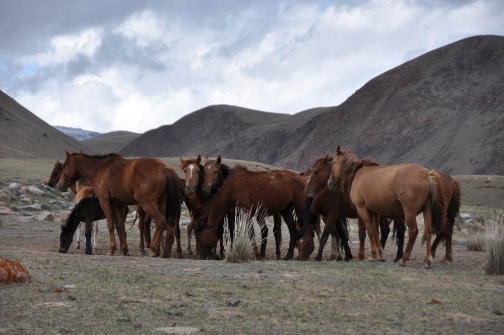 Pferdeherde vor Hügelzug