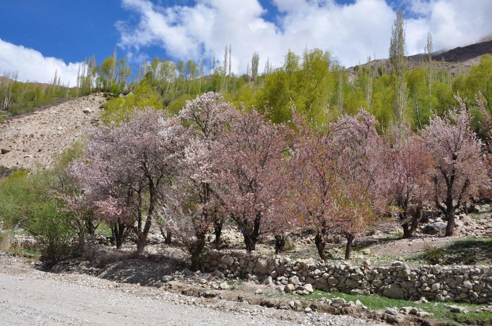 Rosa blühende Bäume im Shokh Dara Tal