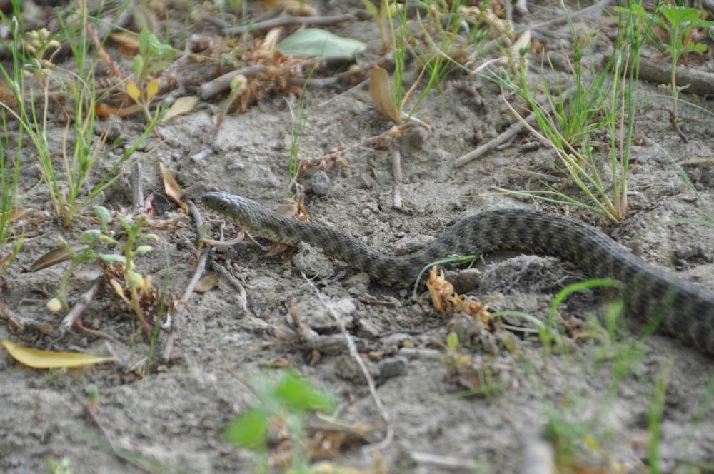 Schlange auf torckenem Boden