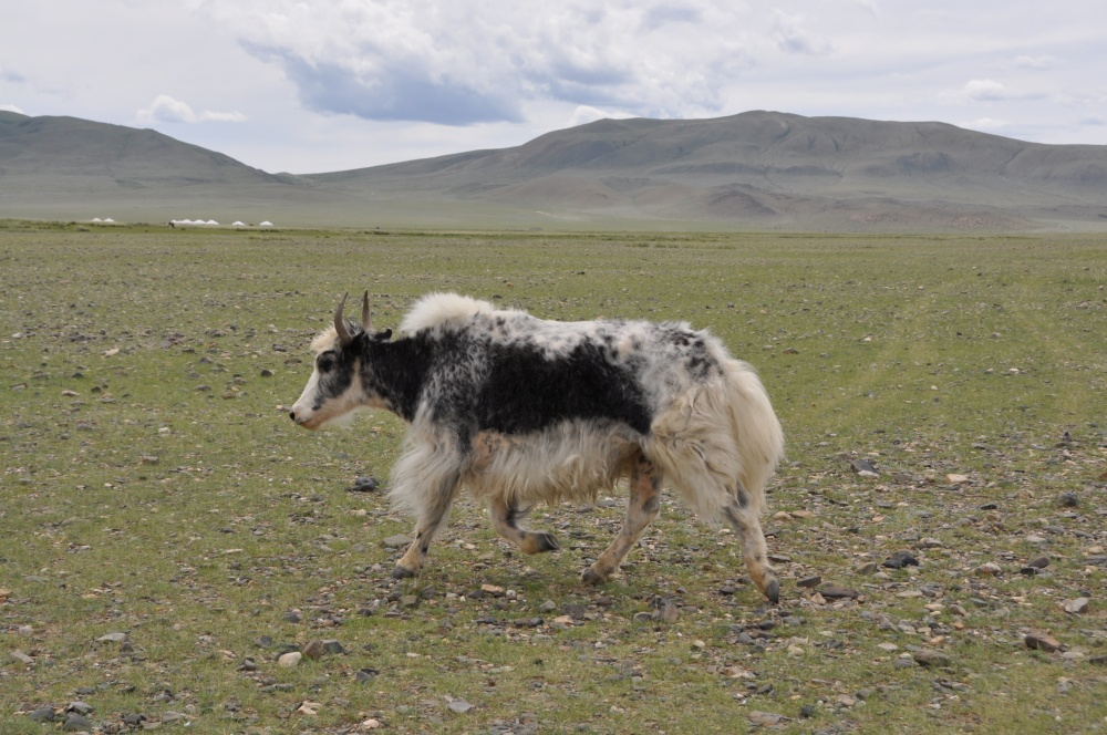 Yak in Steppe