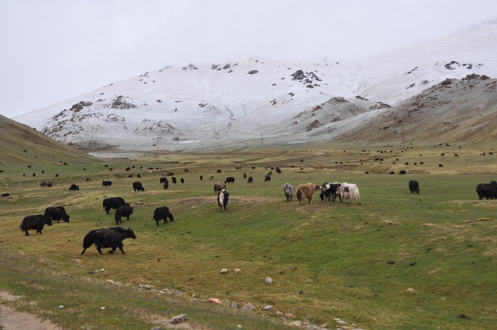 Yakherde vor beschneitem Berg