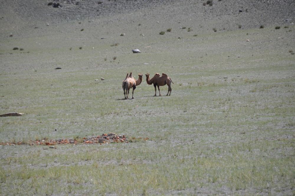 Zwei Kamele in der Steppe