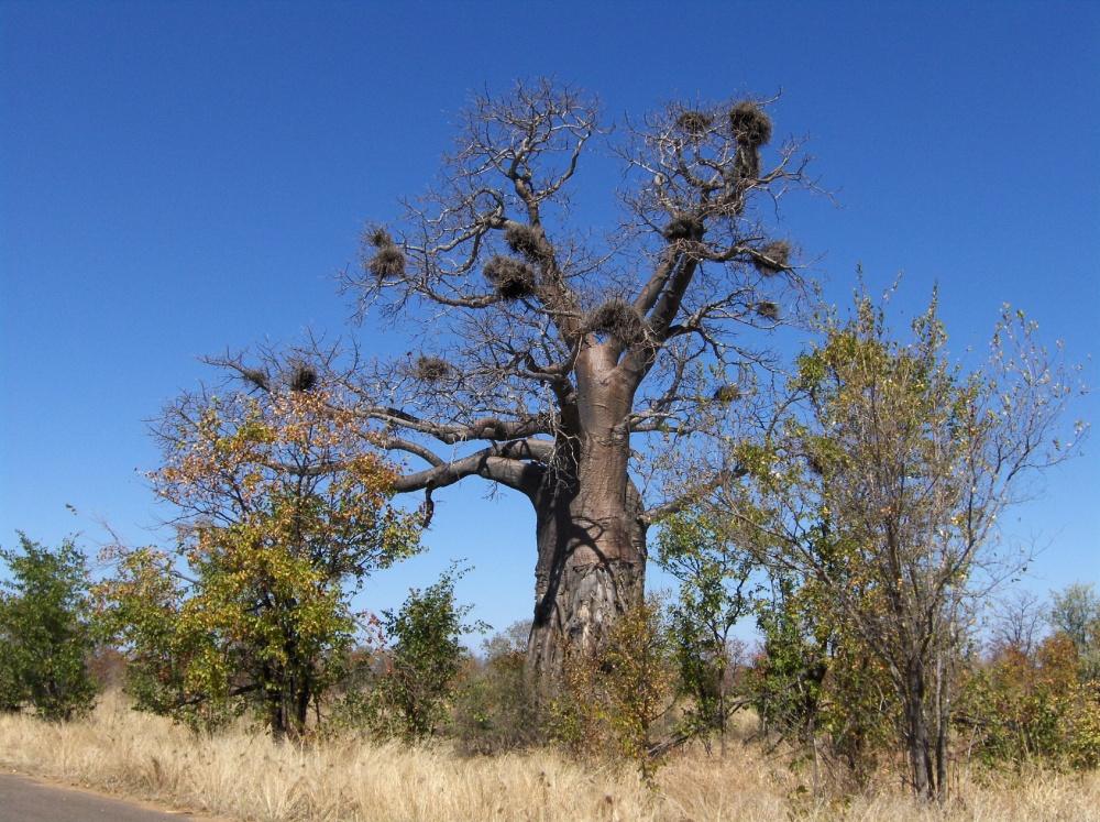 Baum mit Vogelnesten