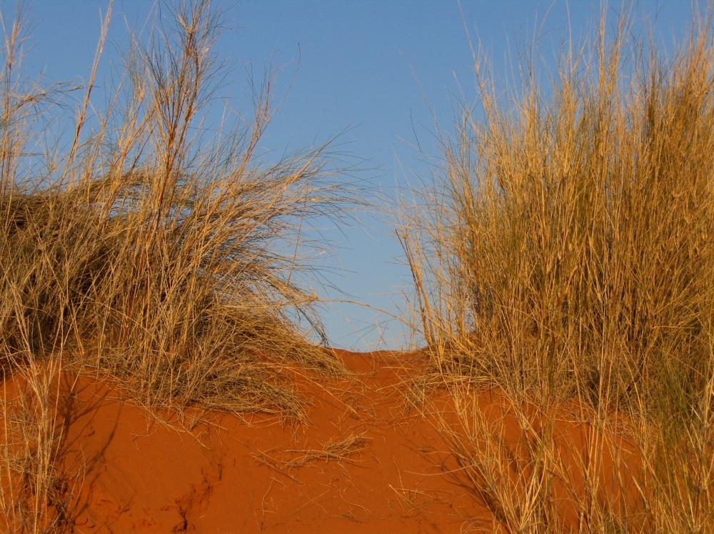 Dünengräser im roten Sand