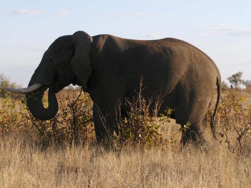 Elefant (Grossaufnahme)