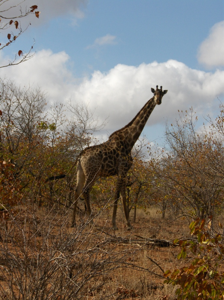 Giraffe im Krüger National Park
