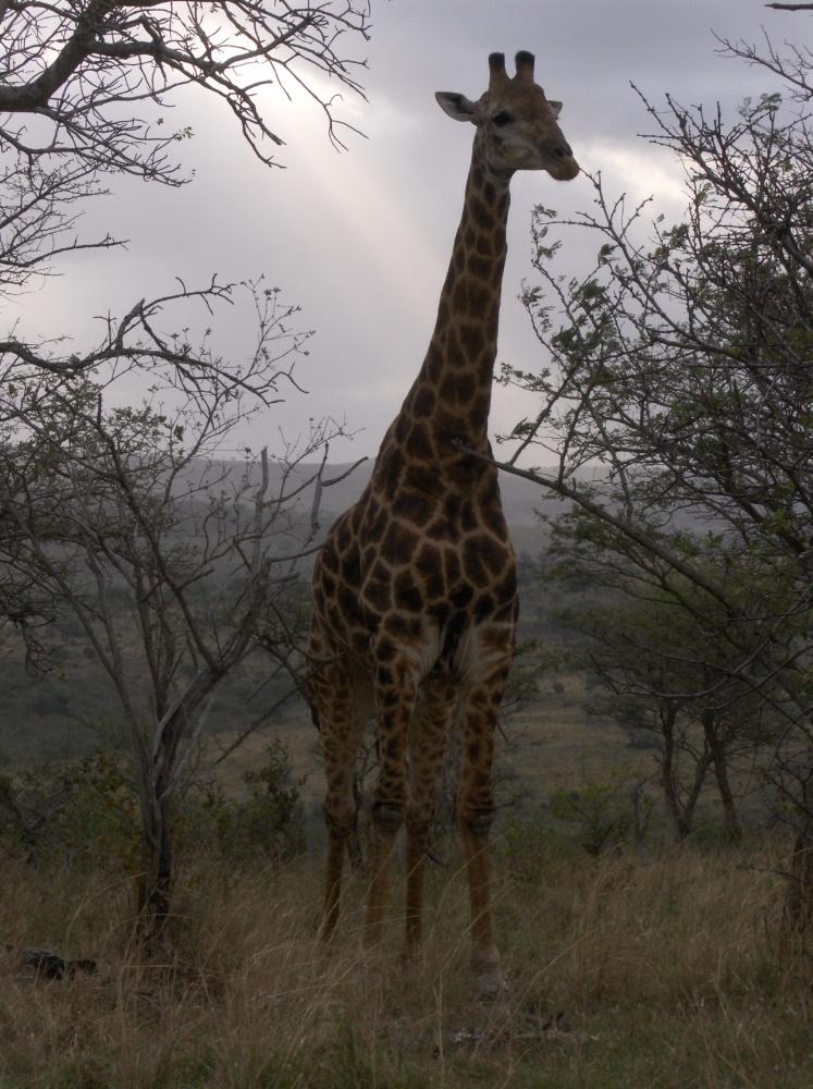Giraffe zwischen Bäumen