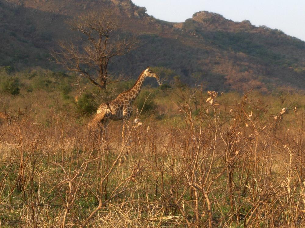 Giraffenmutter mit Jungem