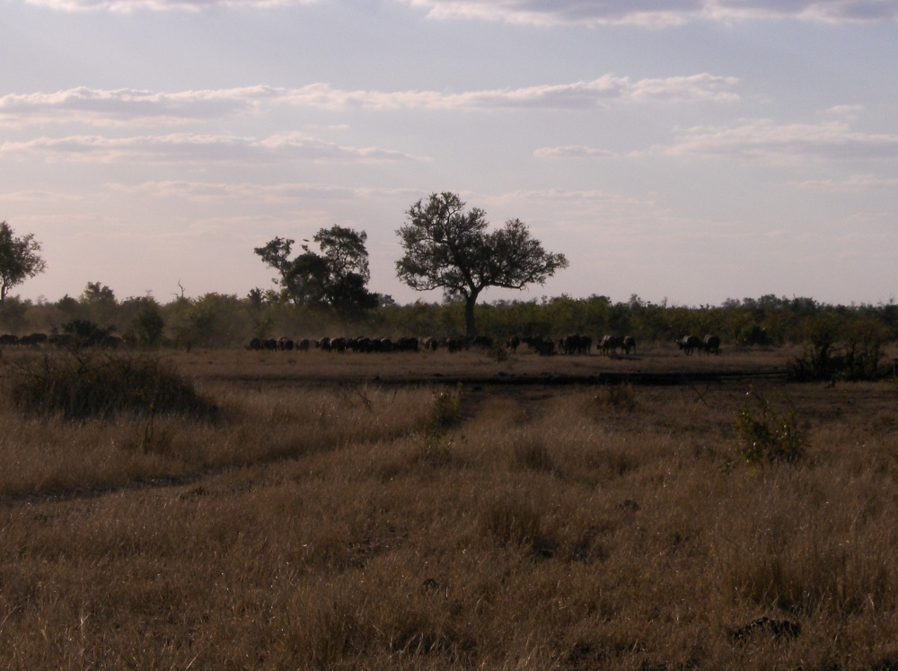 Grasende Gnuherde unter Baum