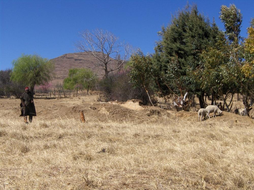 Hirt mit seinen Schafen in Lesotho