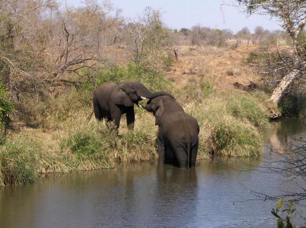 Kuschelnde Elefanten am Fluss