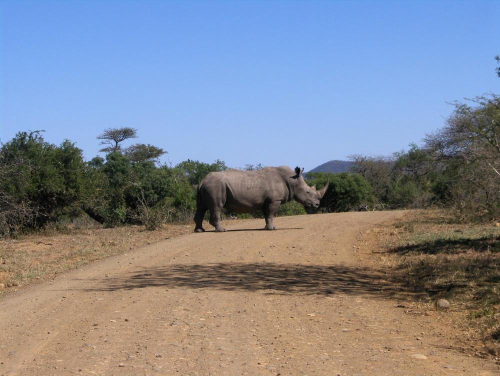 Nashorn auf der Piste
