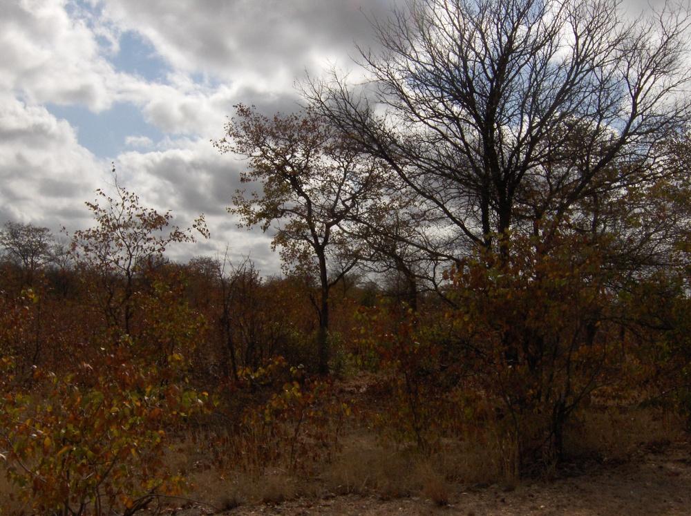 Sträucher im Krüger National Park