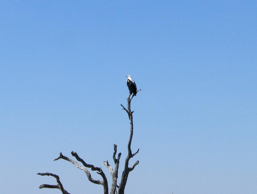 Weisskopfseeadler auf Baumspitze