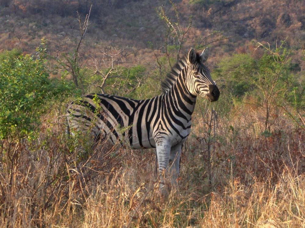 Zebra im Gebüsch