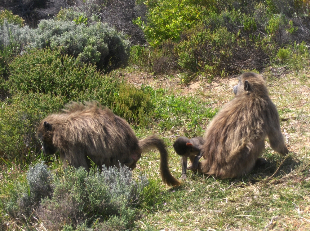 zwei Affen im Gebüsch