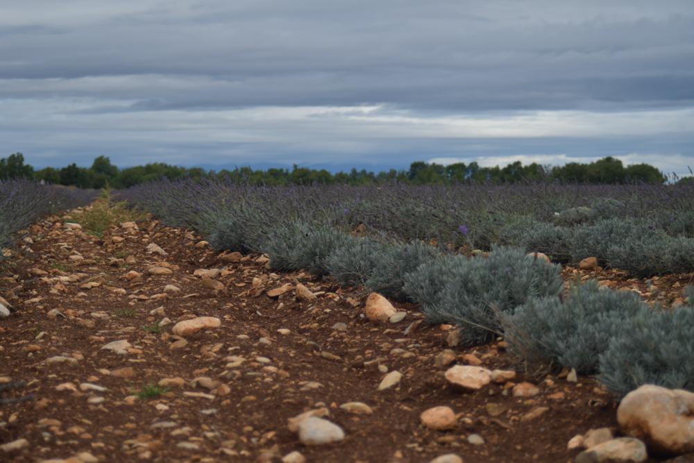 Lavendelplantage Regenstimmung Provence