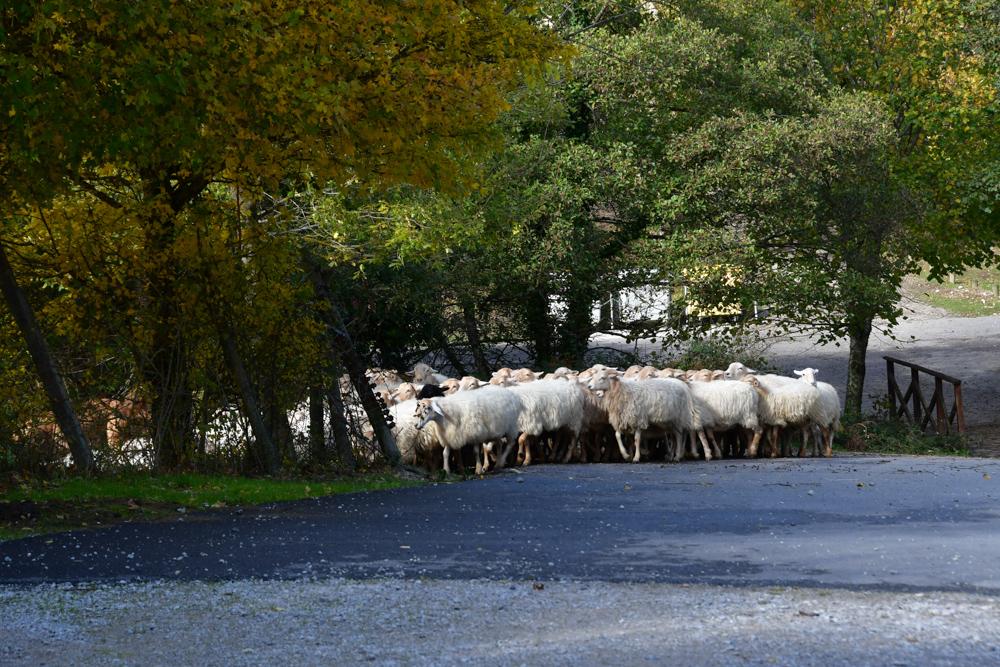 Schafherde auf Strasse farbige Baeume