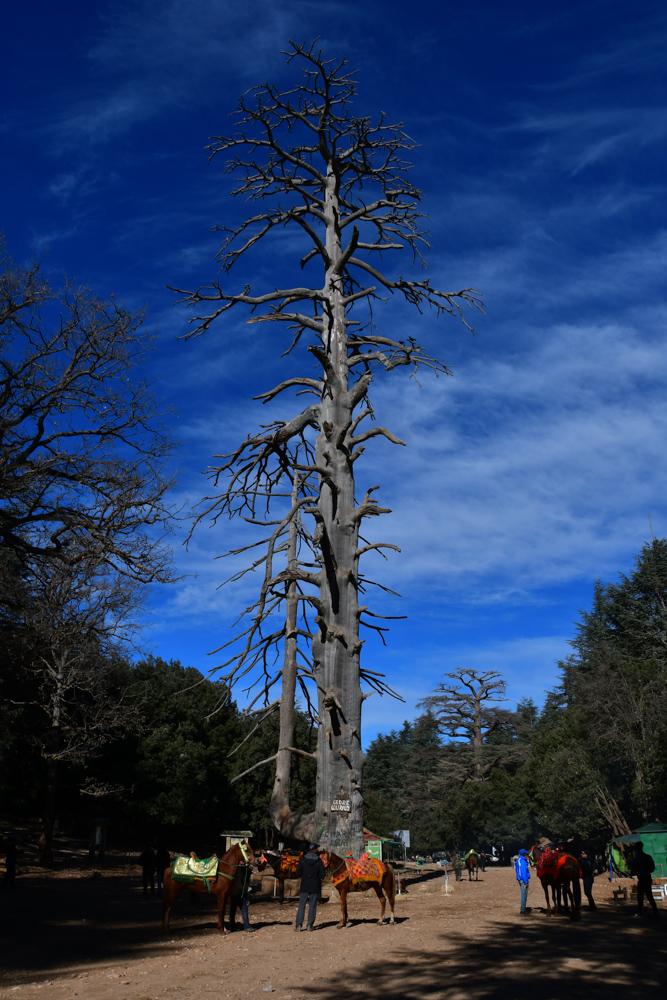 Alter Zedernbaum abgestorben