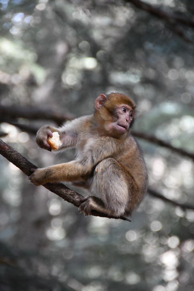 Azrou kleiner Affe auf Ast