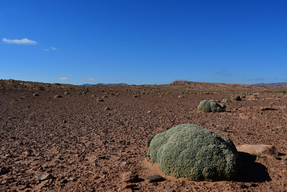 Gruene runde Pflanze in trockener Steppe