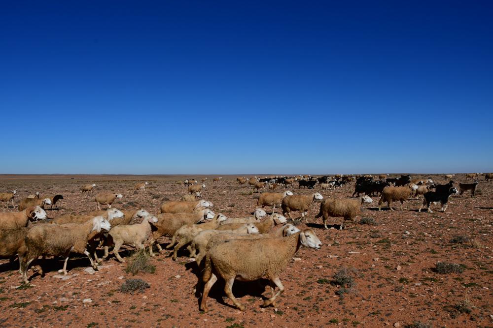 Schafe Ziegen auf Hochebene