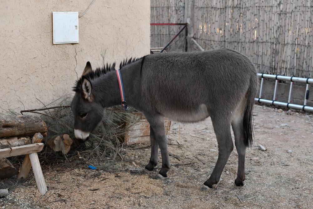Esel frisst Camping Boudnib