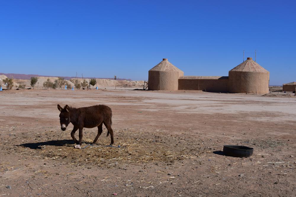 Esel Nomaden Foggara Jorf