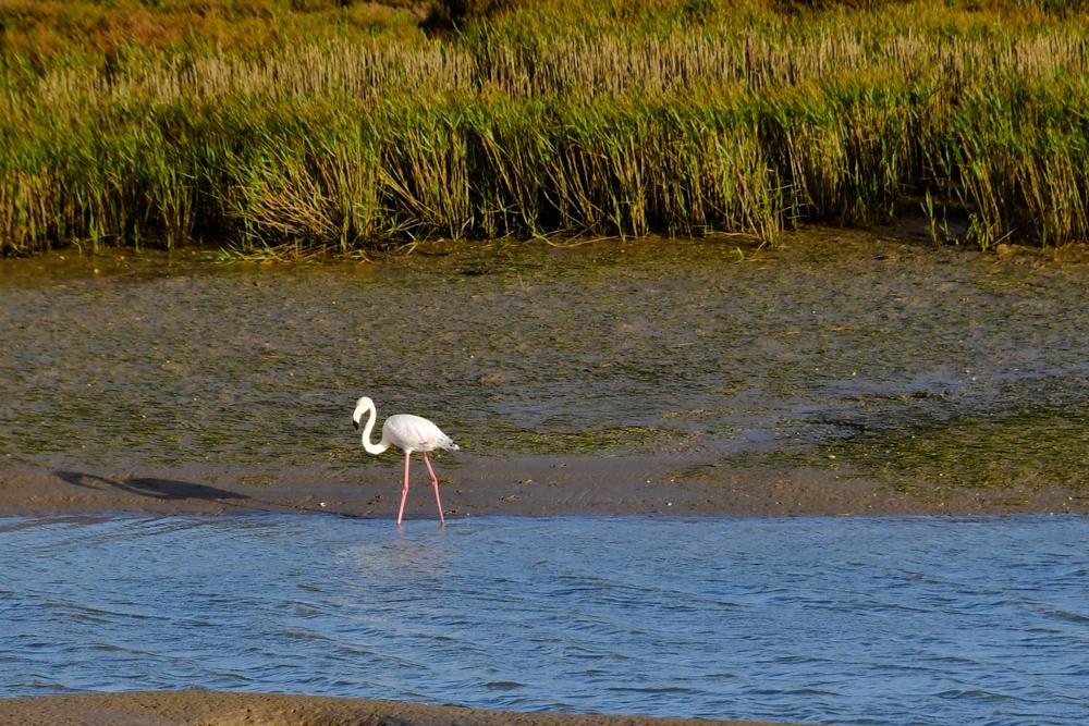 Lagune Flamingo gruenes Gras