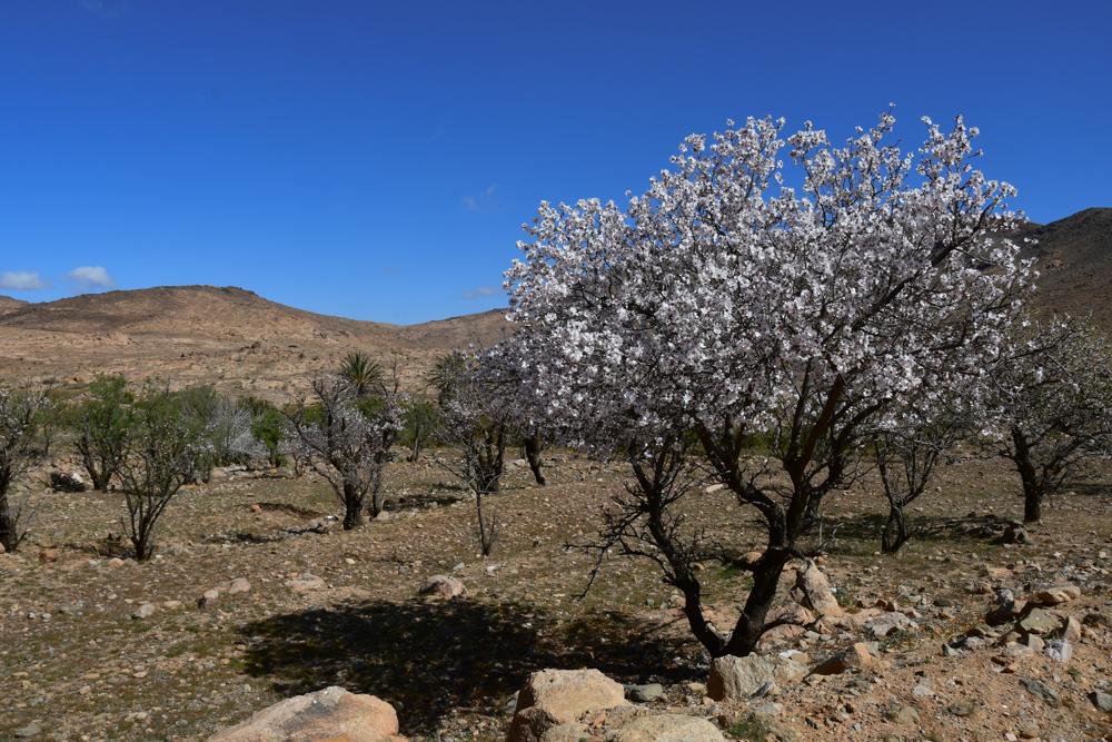 Bluehender Mandelbaum weiss auf Feld