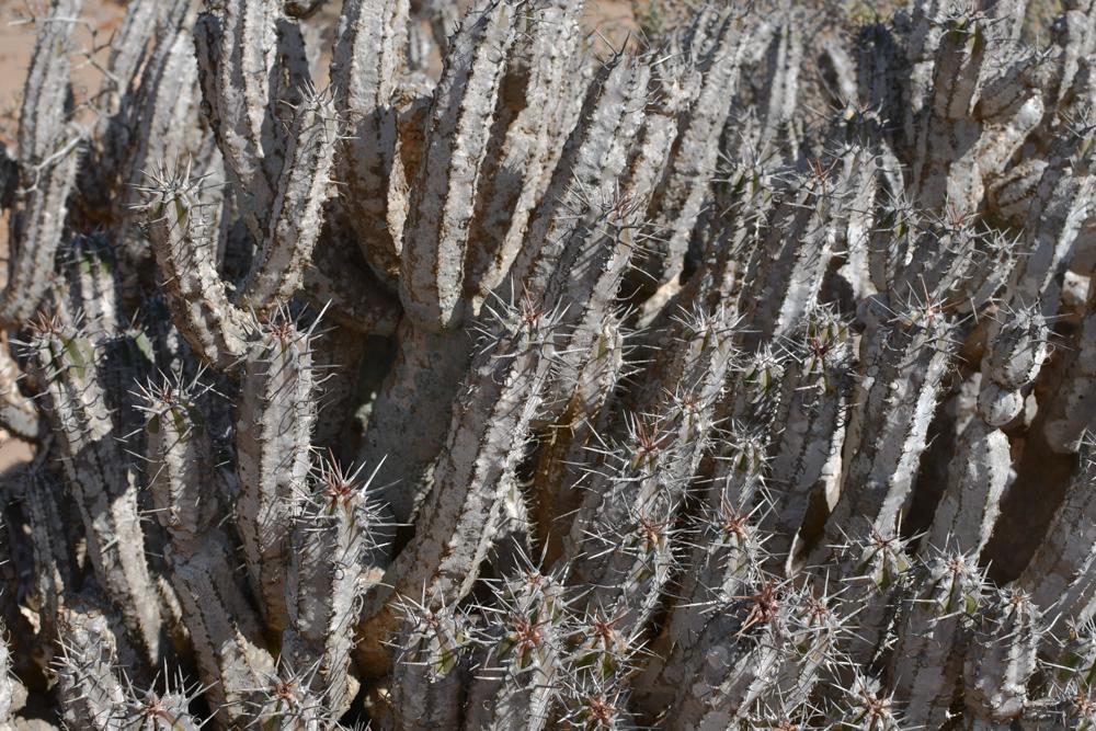 Kaktus stachlige Roehren