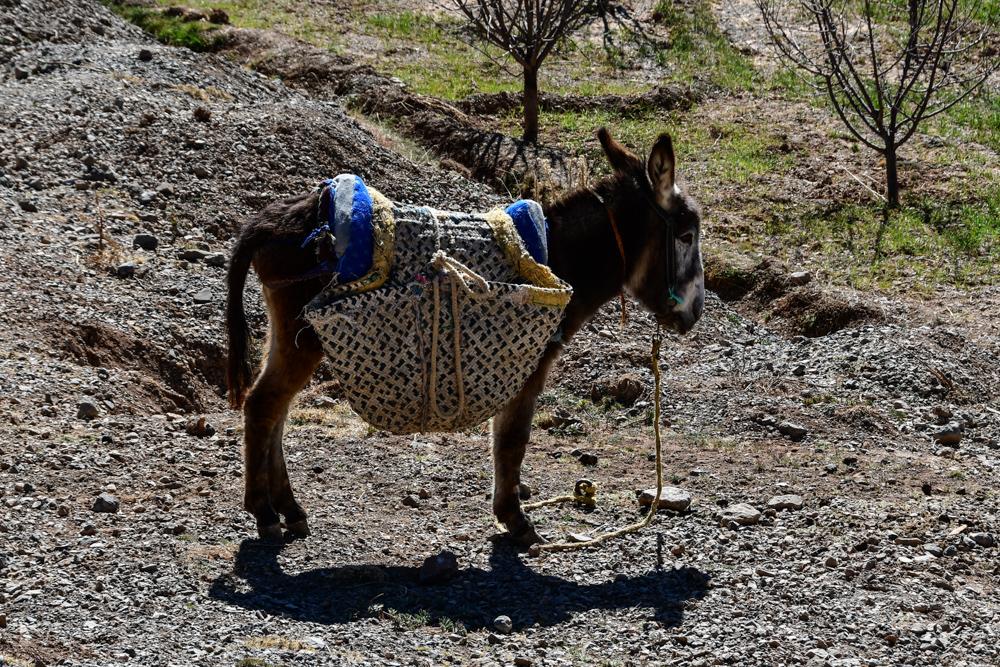 Esel mit Packtaschen im Feld