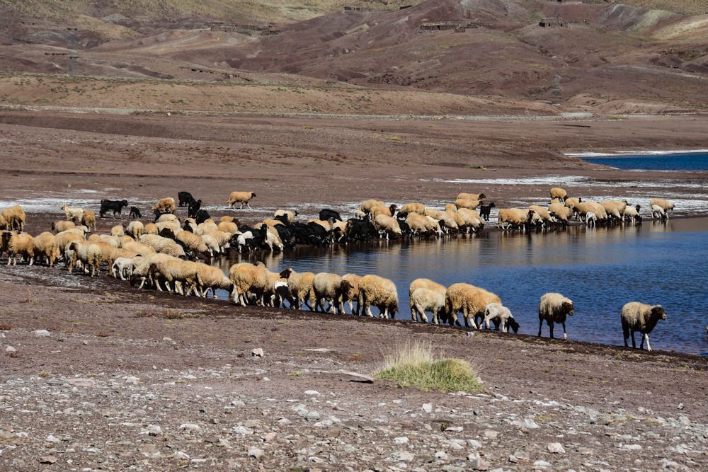 Lac d isli Schafherde trinkt aus See