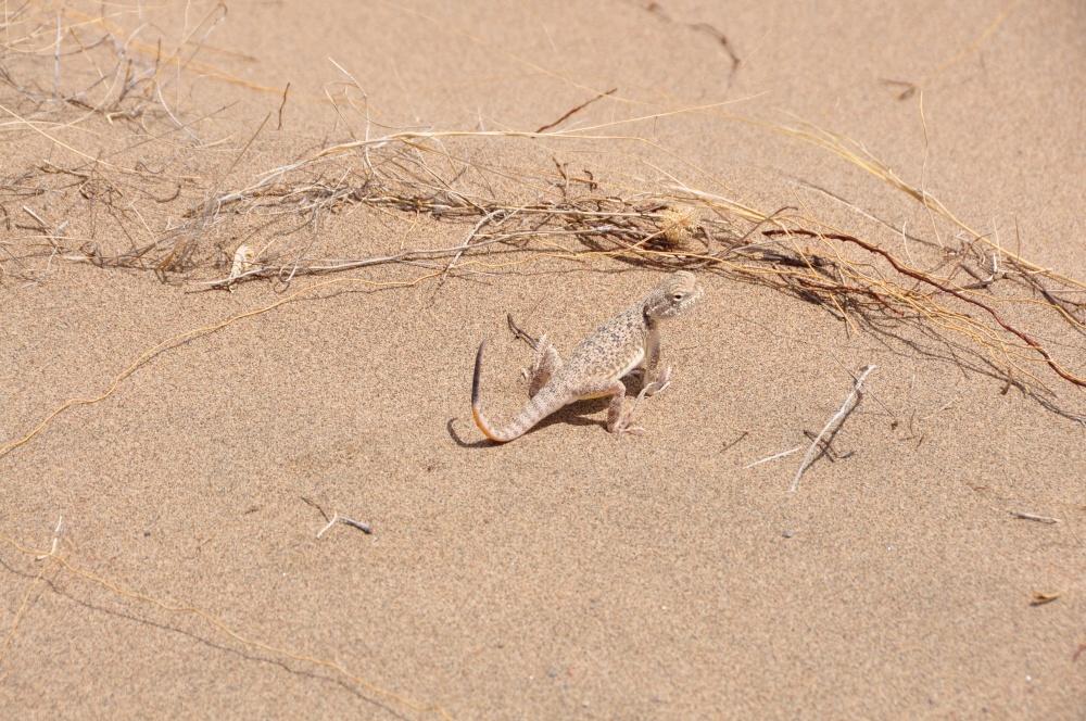 Gecko im Wüstensand