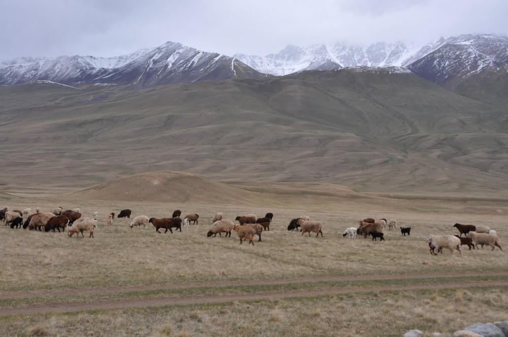 Weidende Schafe vor schneebedeckten Bergspitzen