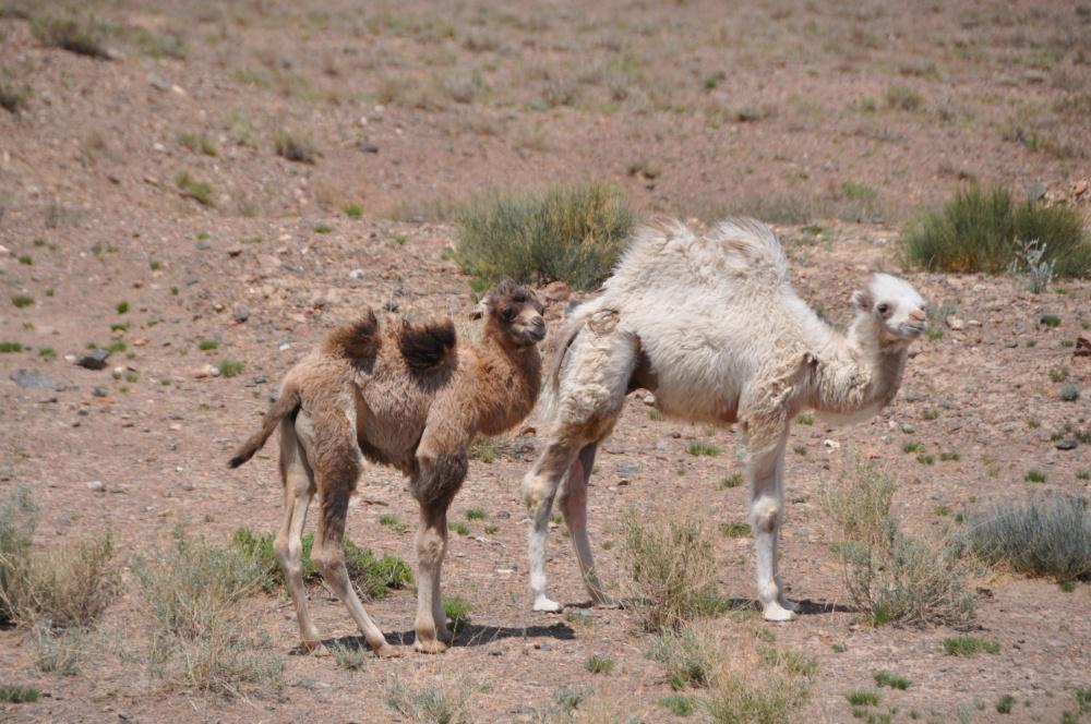 Zwei kleine Kamele