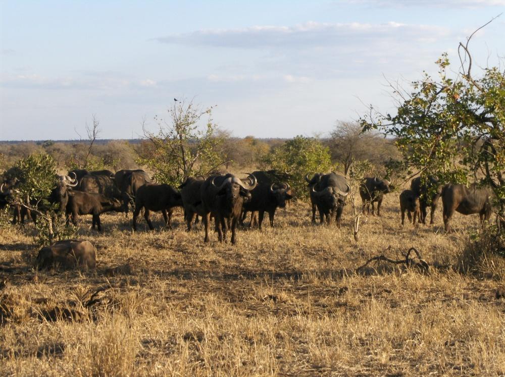 Büffelherde im Krüger National Park