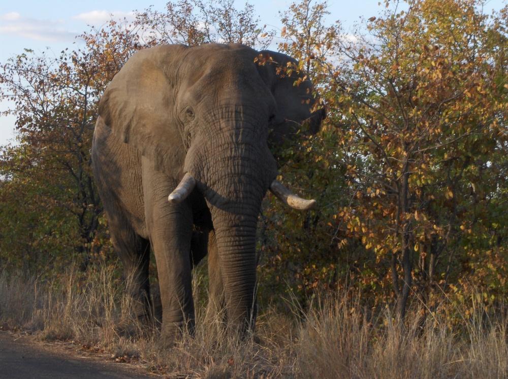Elefant von vorne am Strassenrand