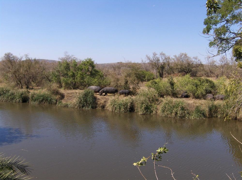 Flusspferde am Ufer