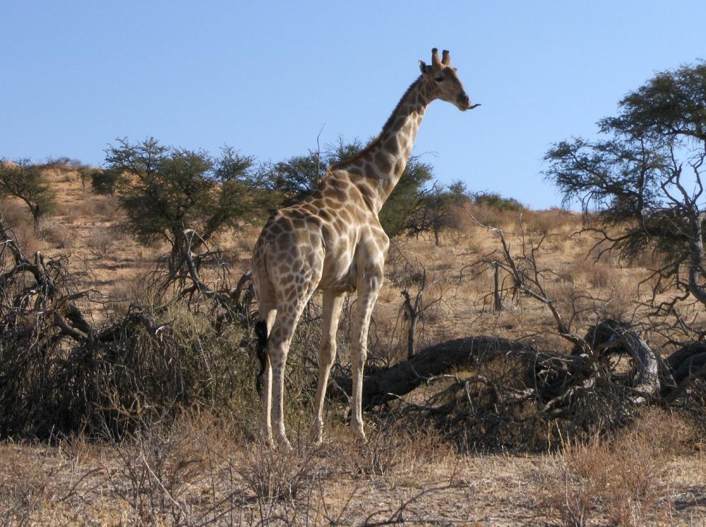 Giraffe streckt Zunge raus