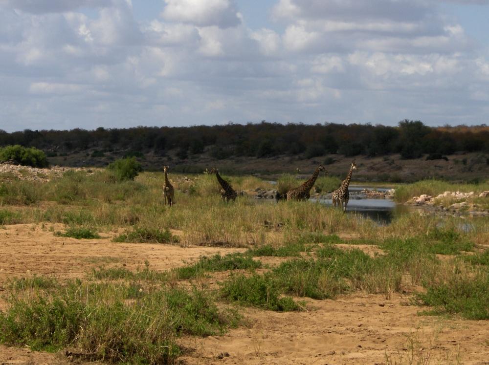 Giraffen in der Ferne am Fluss