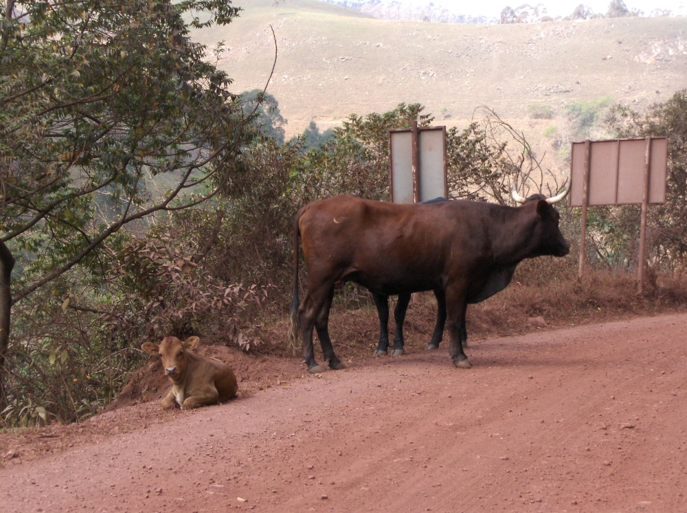 Kühe auf der Piste