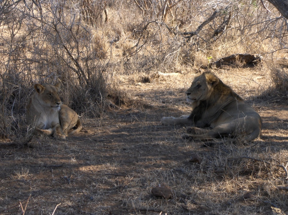 Löwenpaar im Schatten