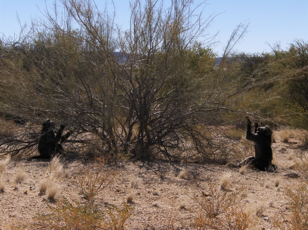 Paviane spielen mit Busch