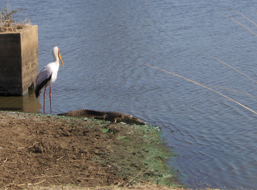 Storch und Krokodil am Fluss