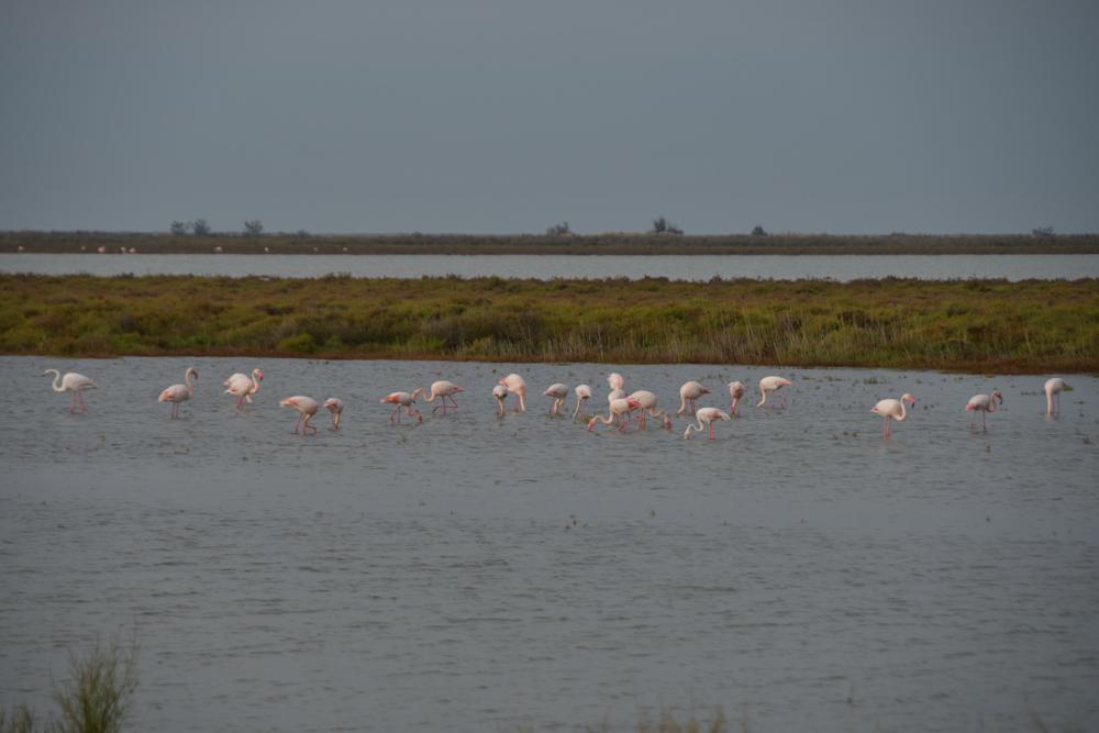 Flamingos Salinen Camarque
