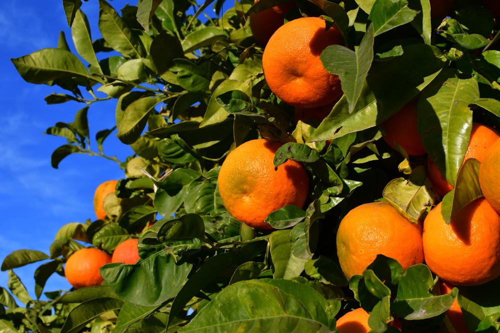 Mandarinen am Baum