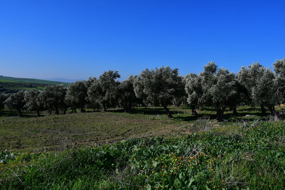 Olivenbäume in Reihe